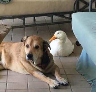 En hund och en anka är bästa vänner.