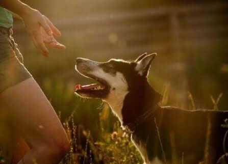 Hund som försöker bita: En hund skyddar sin ägare.