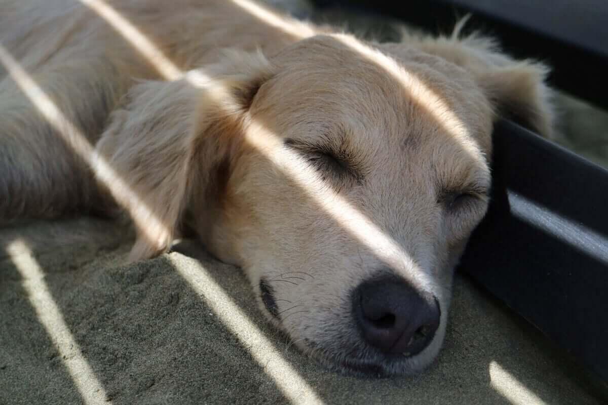 En hund ligger och sover i skuggan.