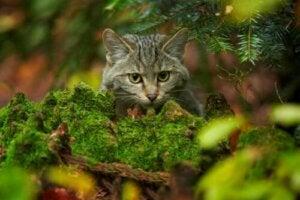 Skotsk vildkatt i skogen
