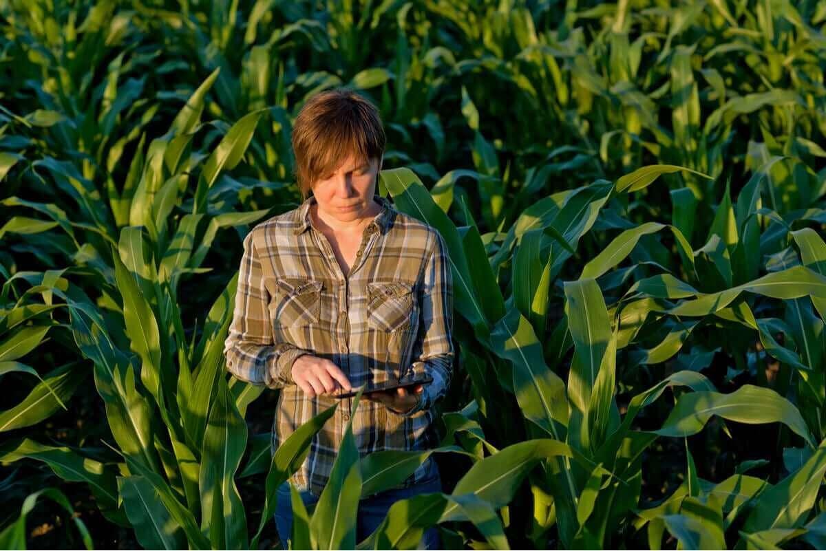 En person står i ett majsfält.