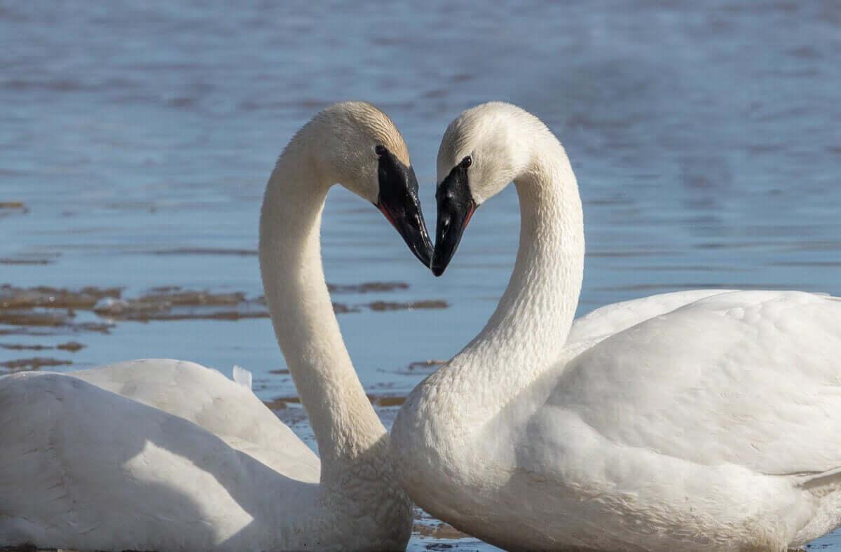 Två svanar formar ett hjärta med sina halsar.