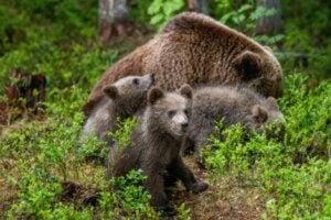 Björnar i skogen