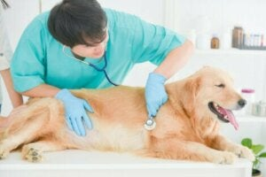 Golden retriever hos veterinär