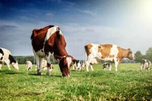 Kor på fält