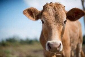 Närbild på ko