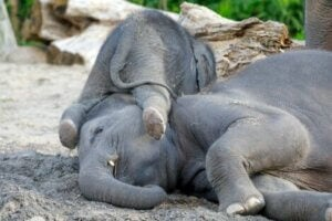 Två asiatiska elefanter som leker