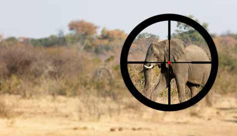 Skydda elefanter mot tjuvjakt: En elefant i jägarens sikte.