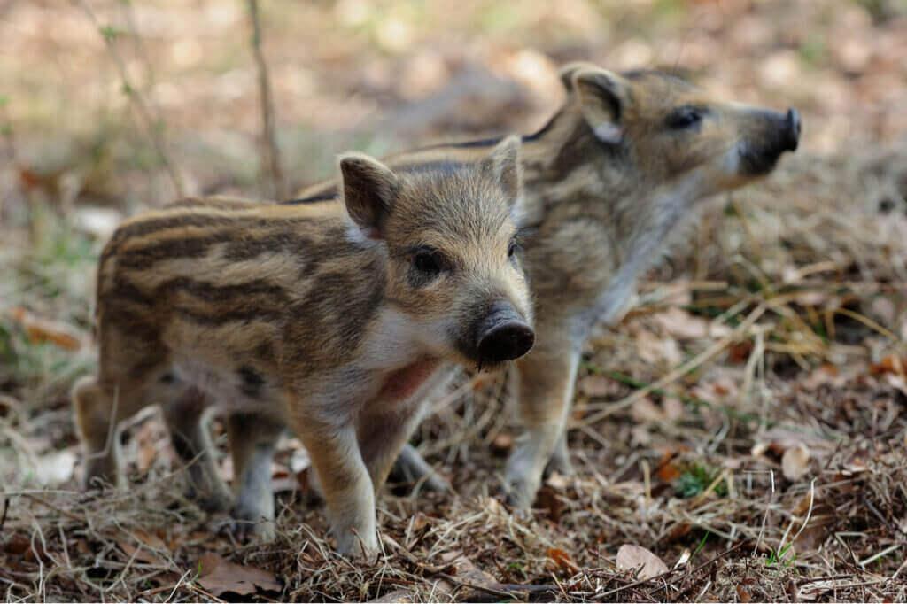 Uppfödning av vildsvin i fångenskap