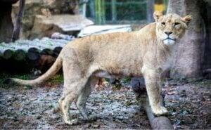 Hybrider: tiger och lejon