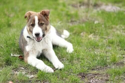 Vad är orsakerna till ataxi hos hundar?