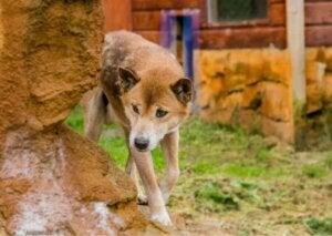 Nya Guineas sjungande hund gör runt ett hörn