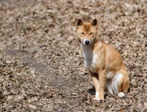 sittande Nya Guineas sjungande hund