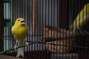 Kanariefågelns sång i bur