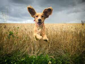 hund med stora öron