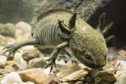 Hur kyler man vattnet i en axolotls akvarium?