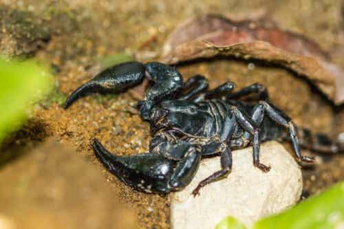 kejsarskorpion är en av olika typer av skorpioner.