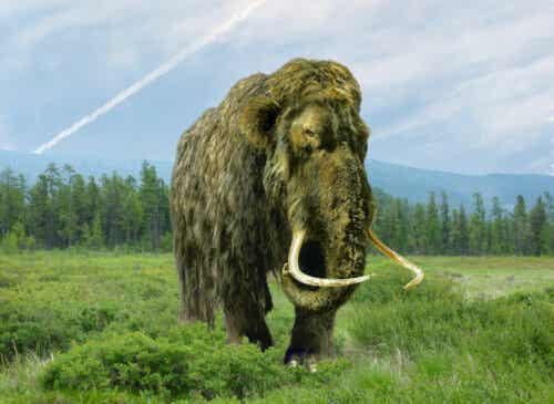 Ullhårig mammut i sitt naturliga betesområde.