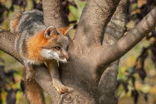 En silverräv klättrar i ett träd.