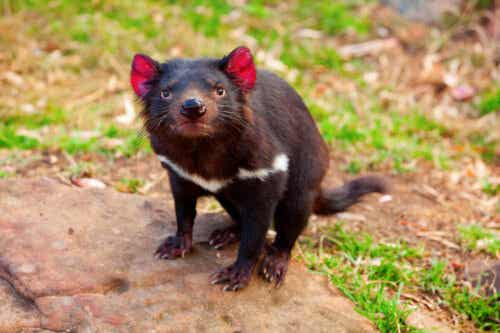 En arg tasmansk djävul.