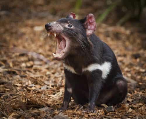 Tasmansk djävul med öppen mun.