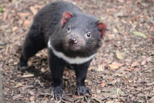 Tasmanska djävulen återvänder till fastlandet Australien