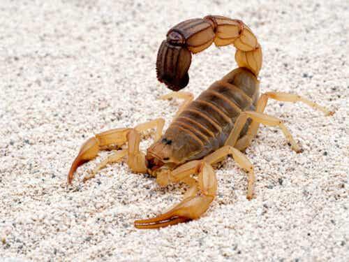 Nordafrikansk tjocksvansskorpion är en av olika typer av skorpioner.