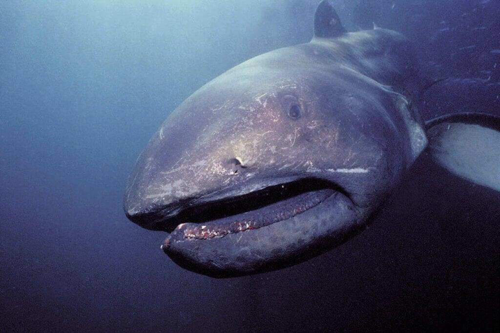 Jättemun-hajen: livsmiljö och egenskaper