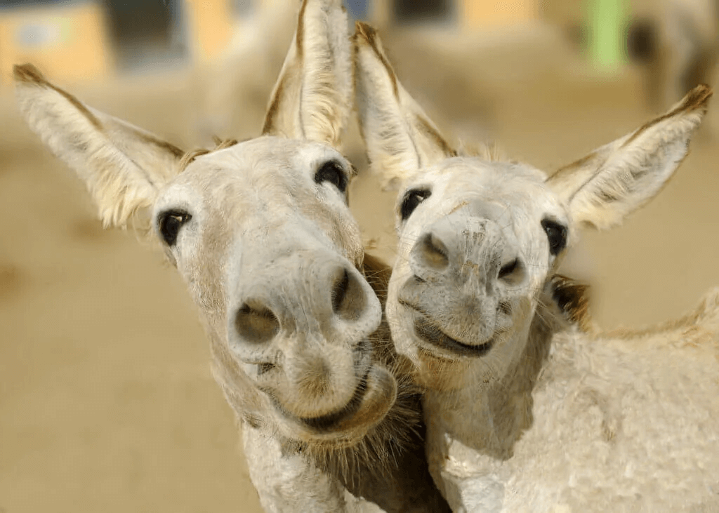Tillämpningen av etologi på gårdsdjur