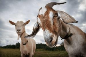 tillämpningen av etologi på gårdsdjur: getter tittar in i kameran