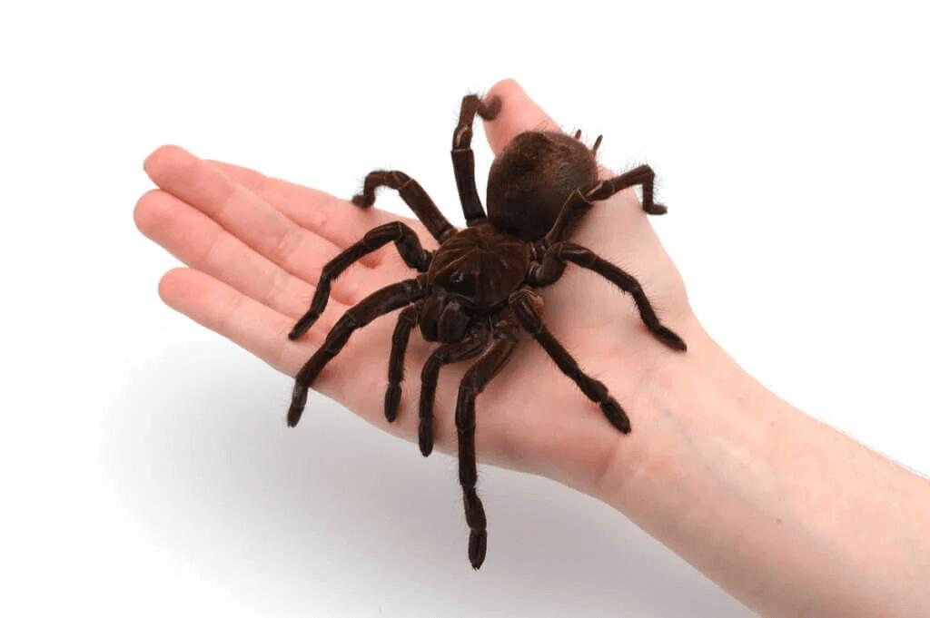 Intressanta fakta om de största fågelspindlarna