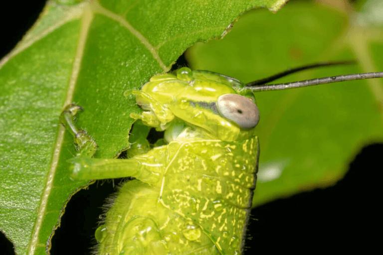 Vad äter gräshoppor?