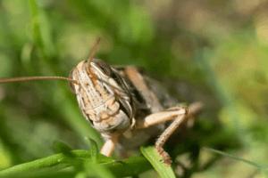 Gräshoppor äter gräs