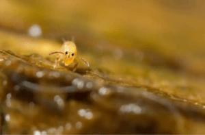 hoppstjärtar hjälper till att hålla terrariet rent