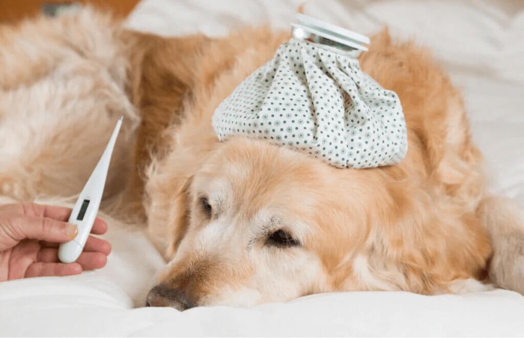 Vilka är symptomen på feber hos hundar?