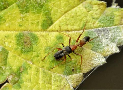 Myrliknande spindlar: Släktet Myrmarachne