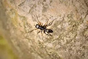 myrliknande spindlar