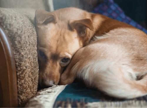Mer än 72% av alla hundar lider av ångest