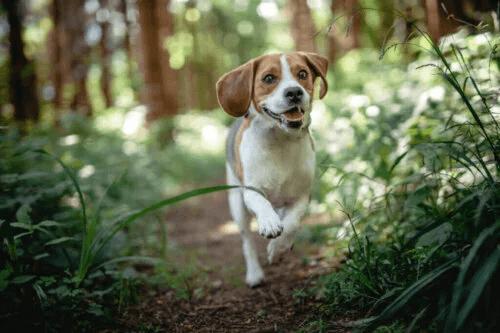 Vilka är de vanligaste sjukdomarna hos beagles?