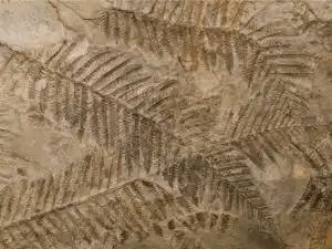 fossil av ormbunkar