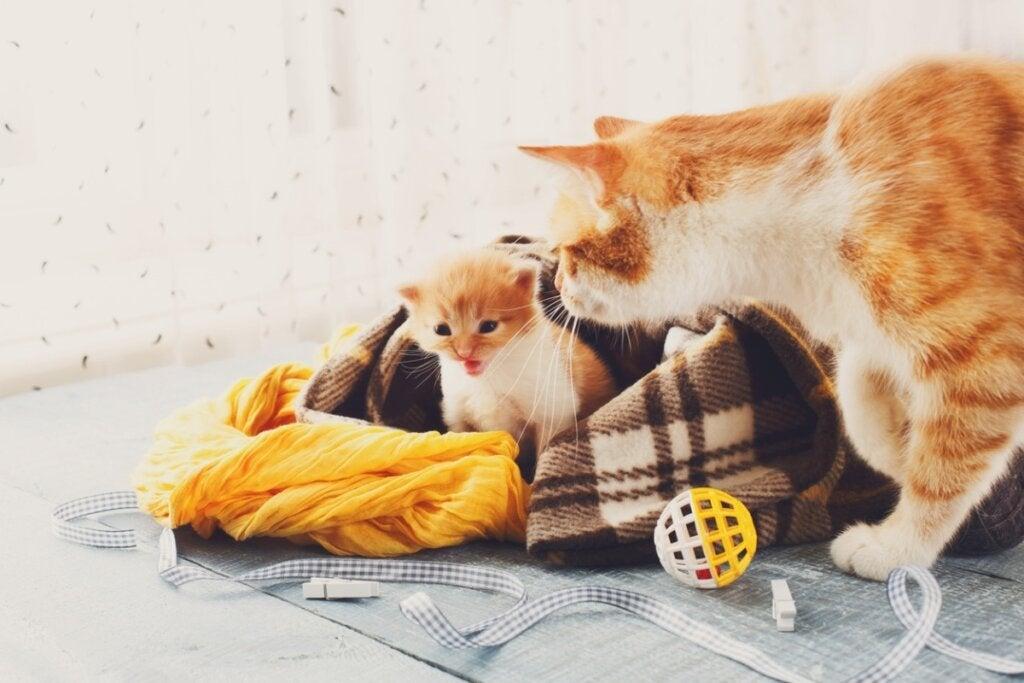 Efter att ha fött, när kan en katt löpa igen?