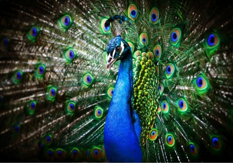 Varför påfågeln breder ut sin stjärt