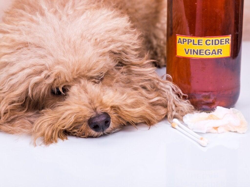 Äppelcidervinäger för hundar: Användning och fördelar
