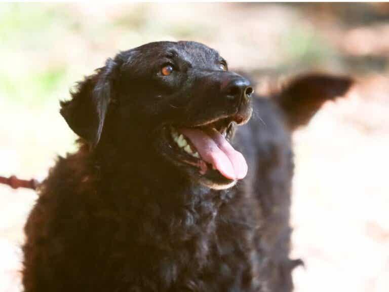 Kroatisk herdehund: Allt om denna ras