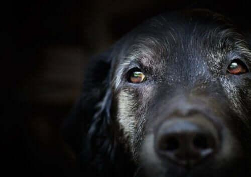 Åldersdemens hos hundar: Vad säger forskningen?