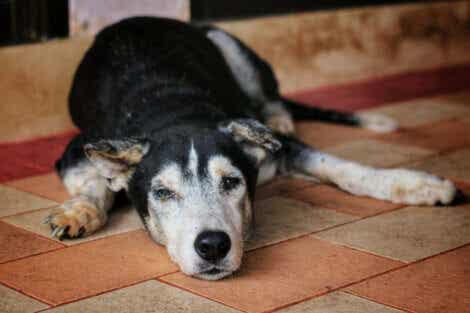 Åldersdemens hos hundar: En gammal hund ligger på golvet.