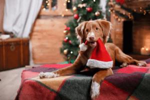 hund vid julgran med tomtemössa i munnen