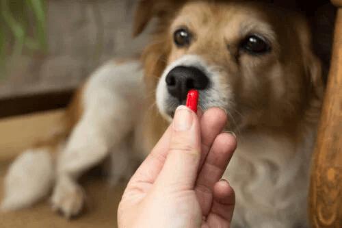 Hur använder man clindamycin för hundar?
