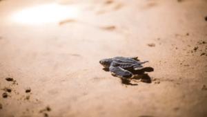 nykläckta havslädersköldpaddor på väg mot havet