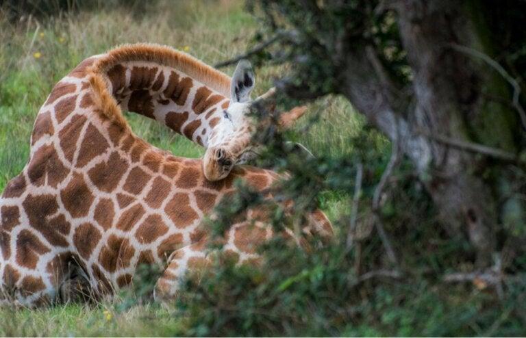Hur sover giraffer?